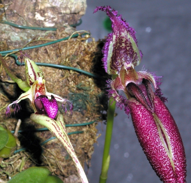 Bulbophyllum putidum and fascinator