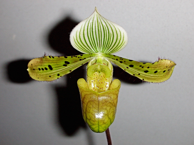Paphiopedilum unknown slipper