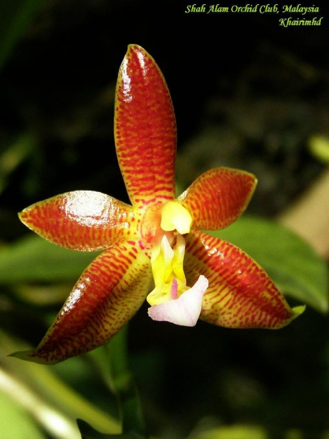 Phalaenopsis Valentinii